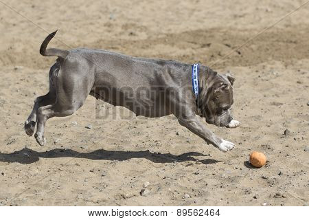 Dog in midair pouncing on a ball