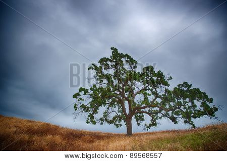 Oak Tree On A Ridge
