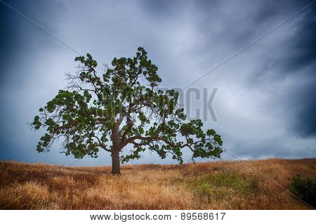 Oak Tree In Storm