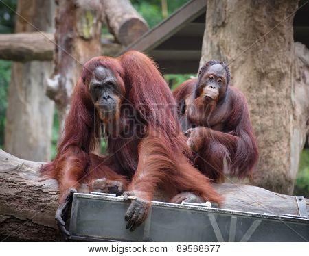 Adult Orangutans