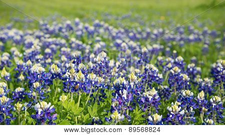 Texas Bluebonnets (lupinus Texensis) Field Blooming
