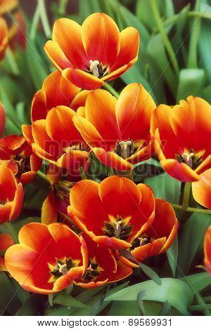Bright Red Tulips Blooming In The Flowerbed