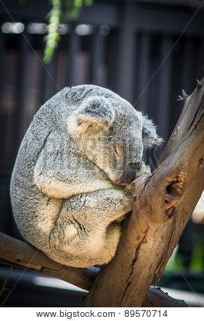 Dozing Koala Bear Rests