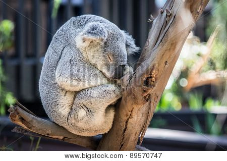 Sleeping Gray Koala Bear