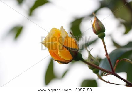 Yellow rose with sky background.