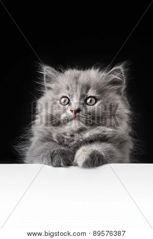 Cat Or Kitten Isolated Behind Signboard