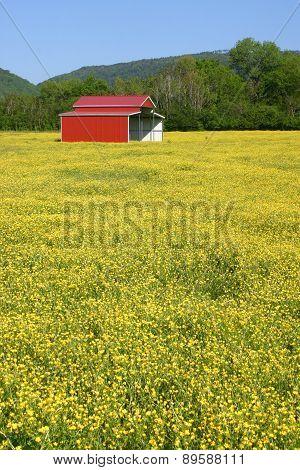 Red Barn in Field of Buttercups