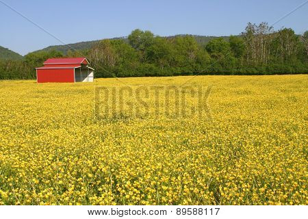 Red Barn & Buttercups