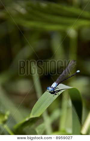Blue Damselfly on Grass Blade