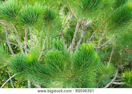 Calothamnus Foliage