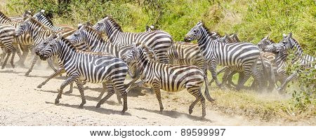 Zebras running at the plains of Serengeti