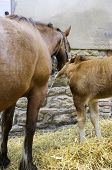 pic of foal  - A brown mare with her foal - JPG