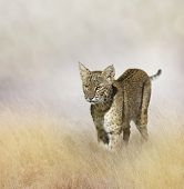 picture of bobcat  - Bobcat Walking In The Grass - JPG