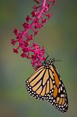 pic of pokeweed  - A monarch butterfly is hanging from a branch of pokeweed - JPG