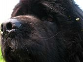 picture of newfoundland puppy  - My newfoundland is a loveable heap of black fur - JPG