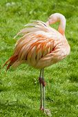 image of pink flamingos  - A beautiful pink Flamingo standing on grass - JPG