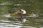 pic of grebe  - Great crested grebe sat on its nest