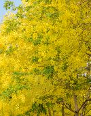 foto of cassia  - Yellow flower of Cassia fistula or golden shower tree in full bloom national tree of Thailand - JPG