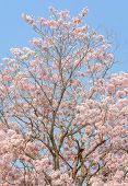 stock photo of trumpet flower  - Pink flower of Trumpet or Tabebuia tree in full bloom - JPG