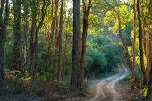 foto of foliage  - Glow of late afternoon sunlight through dense Eucalyptus forest foliage along winding gravel trackthrough small gully Cowaramup Western Australia - JPG