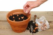 foto of plant pot  - Hand planting bulbs into a pot on a potting bench - JPG