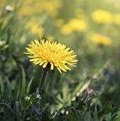 foto of blown-up  - a blown yellow dandelion flower close up - JPG