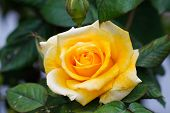 stock photo of rose  - Yellow rose with green background - JPG