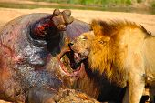picture of gruesome  - Male lion feeding on a dead hippo - JPG