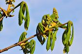stock photo of lats  - Buds and young leaves of chestnutt  - JPG