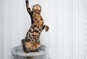 picture of bengal cat  - beautiful bengal cat ready to jump up  - JPG