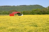 stock photo of red barn  - a red pole barn in a field of yellow buttercups - JPG