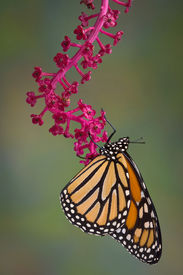 stock photo of pokeweed  - A monarch butterfly is hanging from a branch of pokeweed - JPG