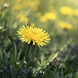 pic of blown-up  - a blown yellow dandelion flower close up - JPG
