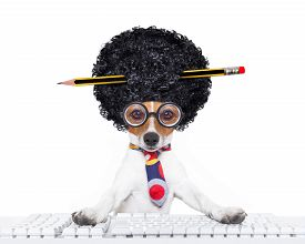 picture of secretary  - jack russell secretary dog booking a reservation online using a pc computer laptop keyboard with crazy silly afro wig pencil in hair isolated on white background - JPG