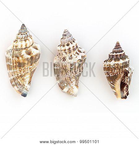 Strombidae Shells