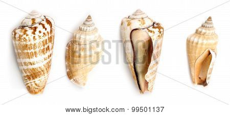 Strwberry Conch And Samar Conch Shells