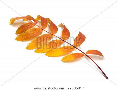 Autumn Rowan Leaves