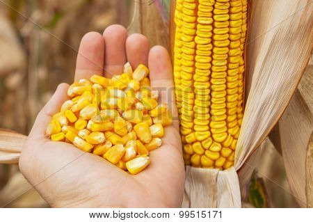 maize corn in hand