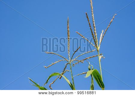 Close-up maize or corn upper part