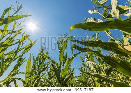 Corn or maize field growing on in rays of sun
