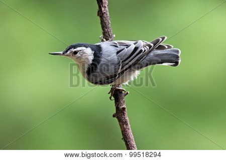 Summer Nuthatch