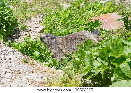 European alpine marmot in the wild