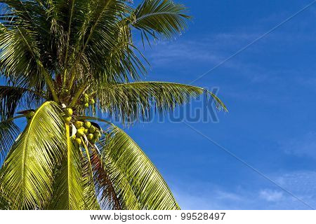 Coconut Fruit And Blue Sky