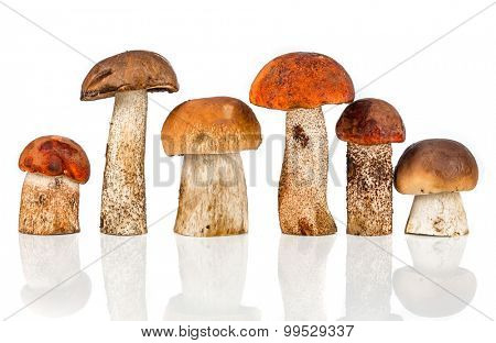 Orange-cap Boletus and porcini mushroom on a white background