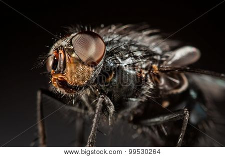 Housefly close-up on a gray background.