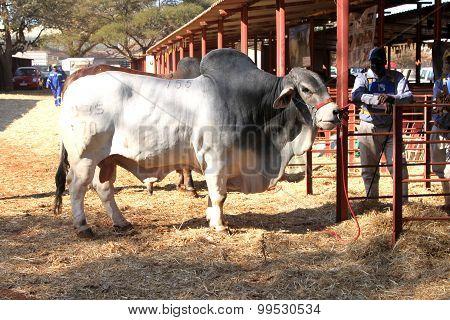 White Brahman Bullstanding In The Morning Sun
