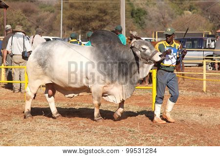 White Brahman Bull Lead By Handler Photo