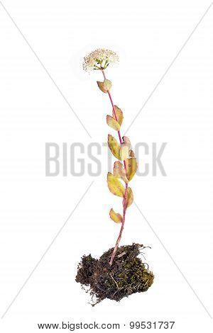 Sedum Or Feverish Grass
