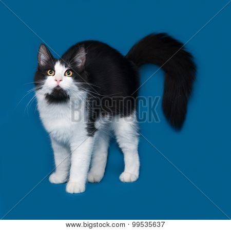 Fluffy Black And White Cat Standing On Blue