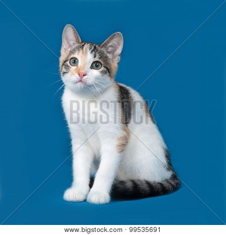 Tricolor Kitten Sitting On Blue